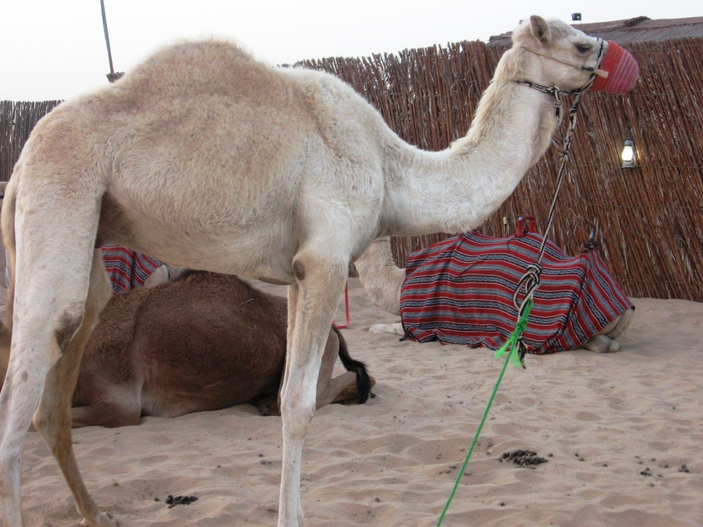Верблюд сафари на джипах