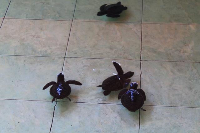 гили черепахи