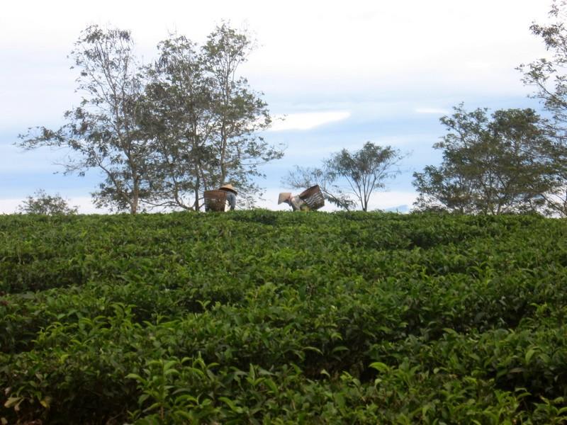 вьетнам кофейные плантации