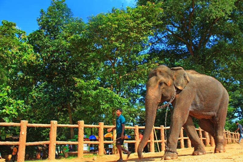 слоновий питомник пиннавела шри ланка фото