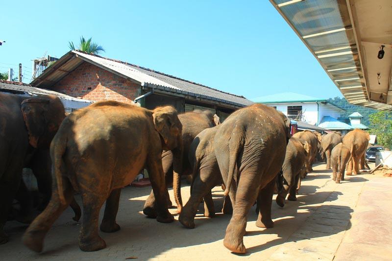 слоны на улице пиннавелы шри ланка