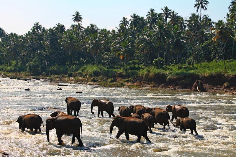 купание слонов пиннавела шри ланка