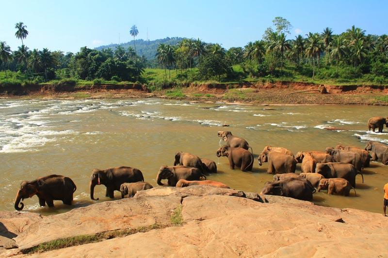 купание слонов пиннавела фото