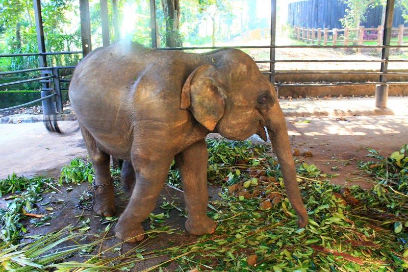 слоновий питомник пиннавела шри ланка