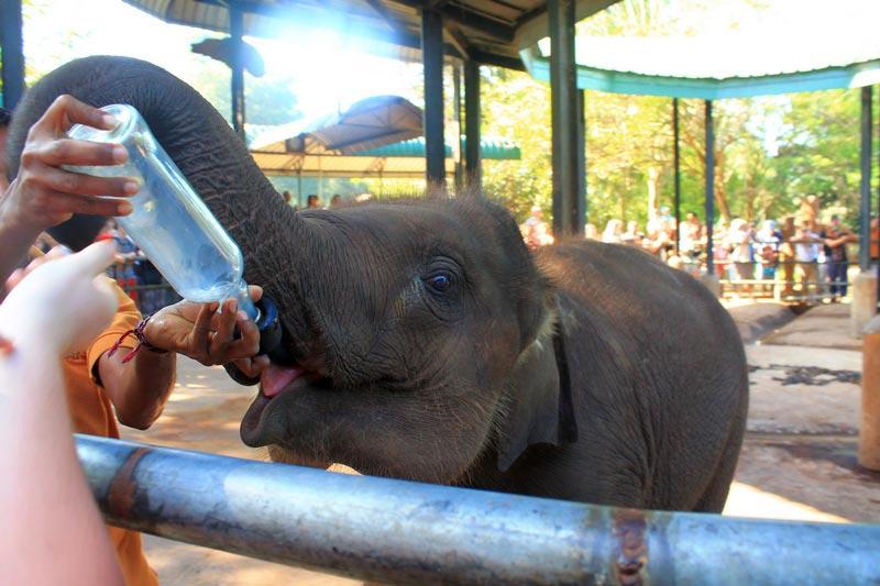 слоновий питомник пиннавела шри ланка кормление слонят