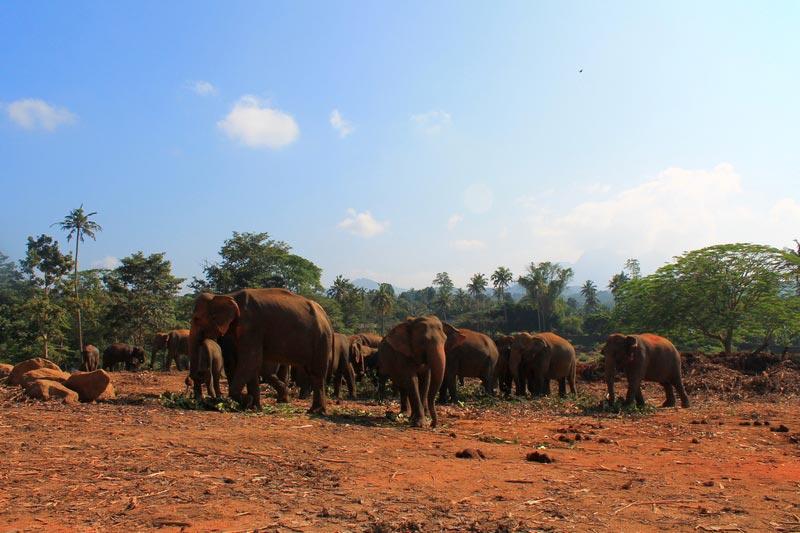 слоны пиннавелы