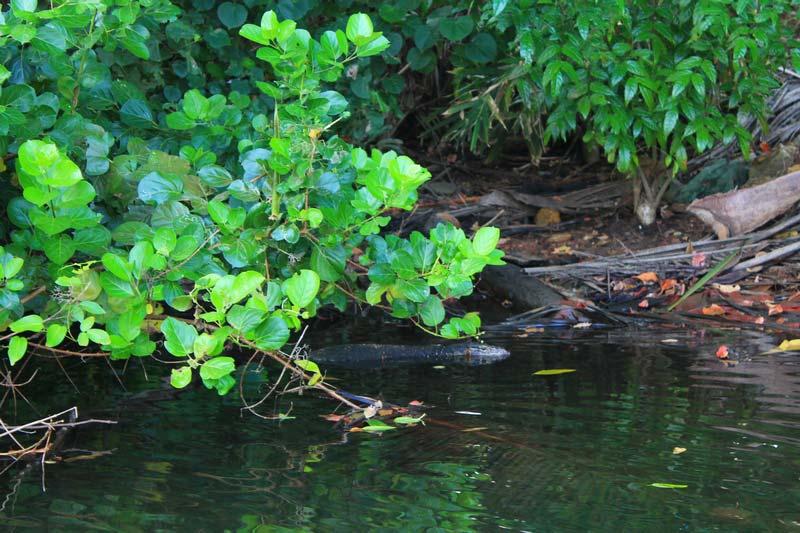 вараны плавают