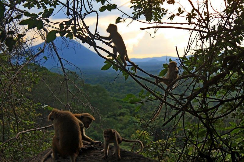 шри ланка золотой храм дамбулы обезьяны