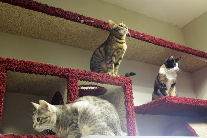 санкт петербург республика кошек породы