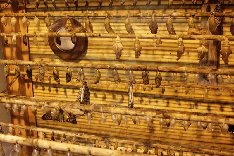 куколки бабочек 32