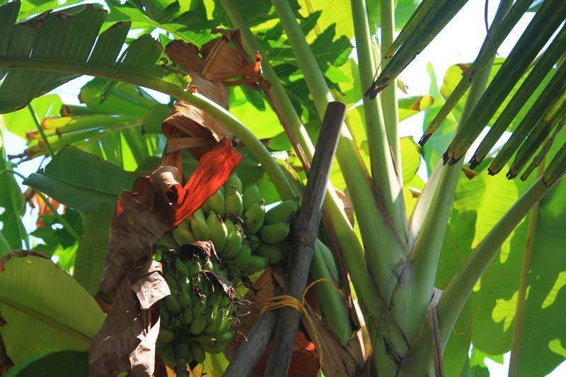 бананы-растут-пальма-12