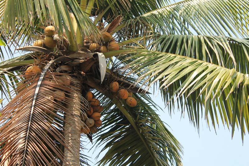 кокосовая-пальма-24