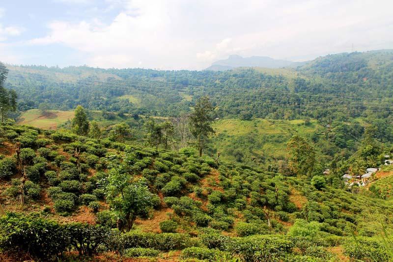 шри-ланка-чайные-плантации-2