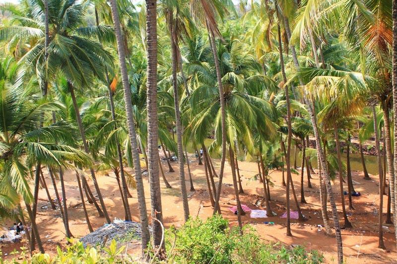 19-пальмовые-рощи-гоа