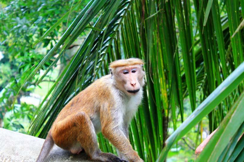 14-обезьянки-шри-ланки