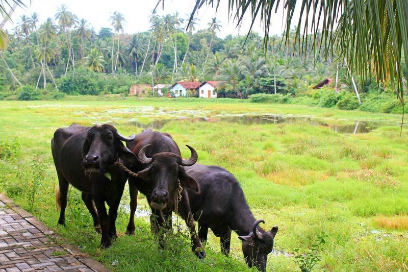 2-коровы-шри-ланка