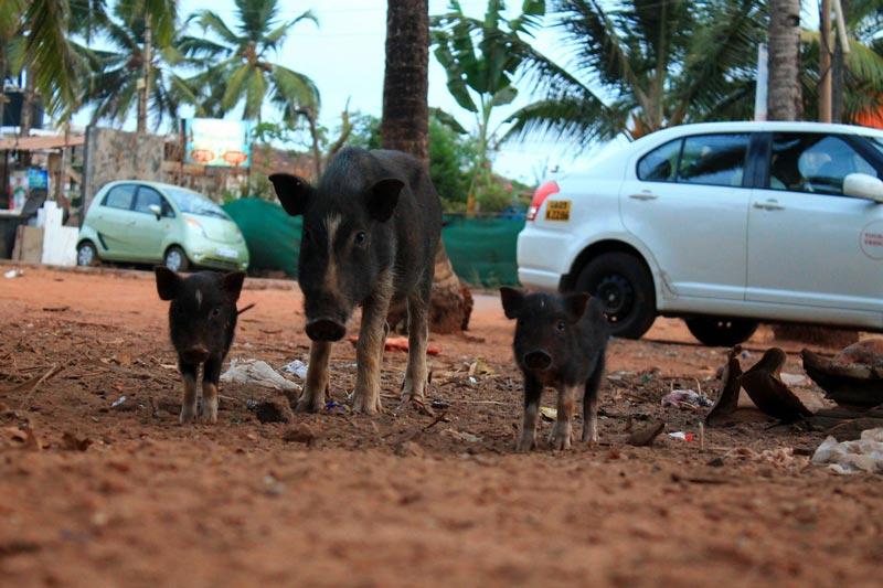 24-животный-мир-гоа кабаны