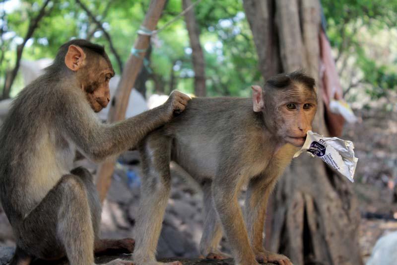 19-мамубай-обезьянки
