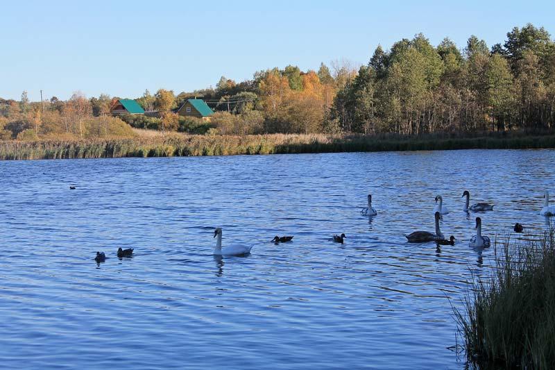 30 лебеди в реке