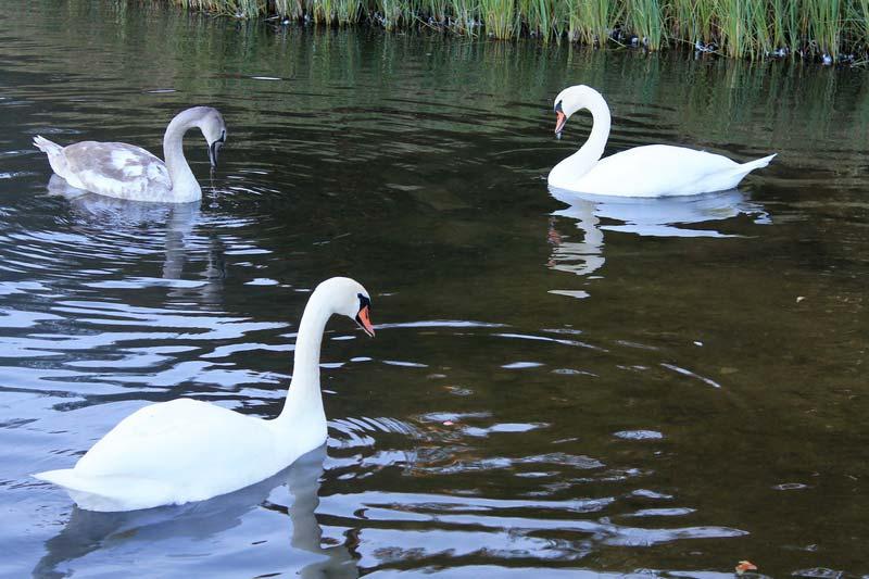 32 трио лебедей