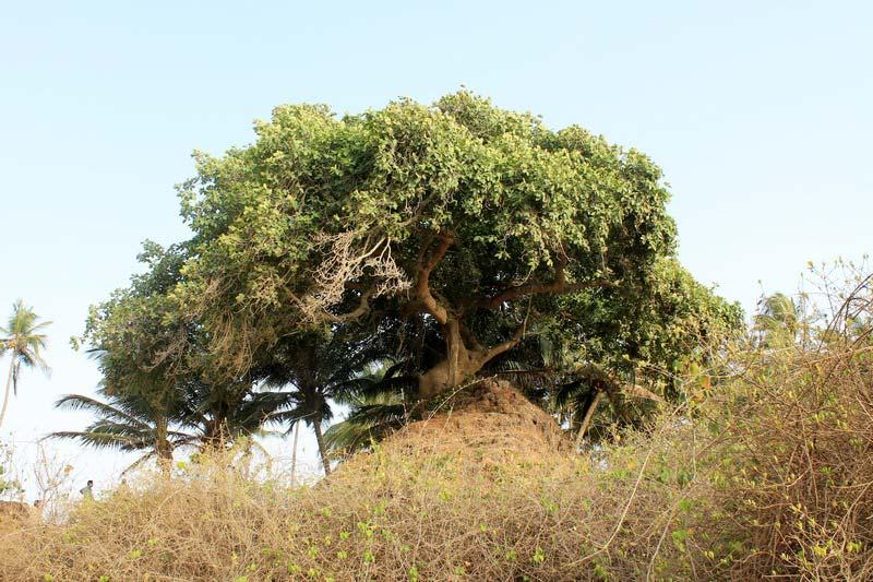 39-дерево-крона