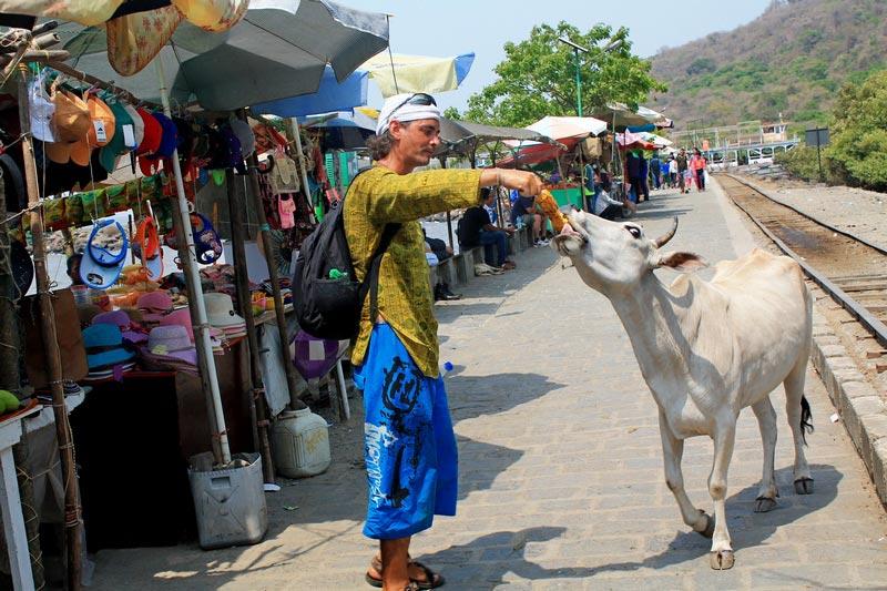 49-коровы-на-улицах-мумбая