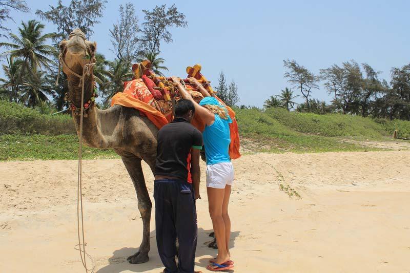 верблюд в гоа