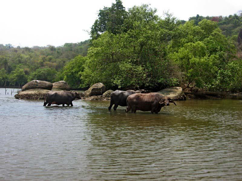 52б-купание-буйволов-в-реке