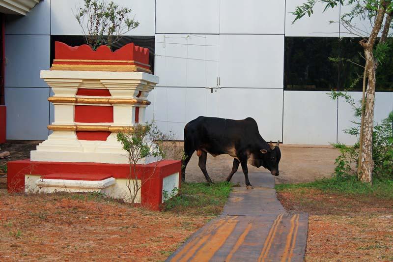 корова в индии