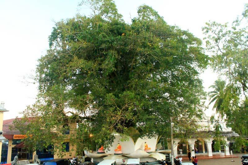 11-большое-дерево-бодхи-бендота