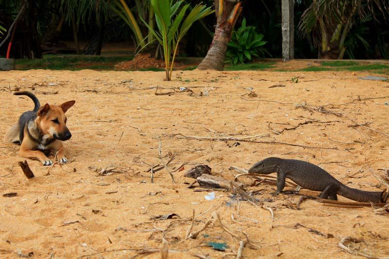 15-фото-варан-и-собака