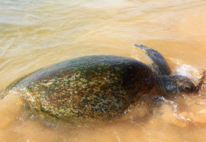 29-кормление-черепах-шри-ланка