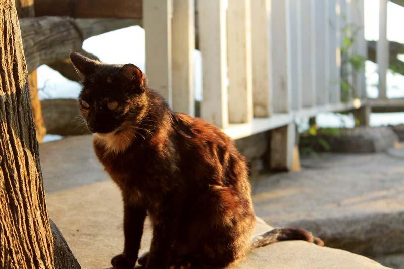 20-коты-таиланда