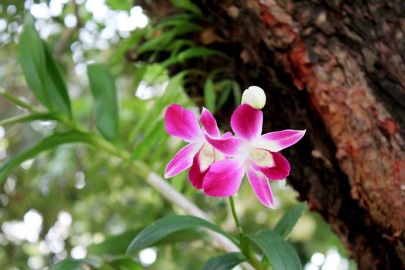 орхидея-пхукет
