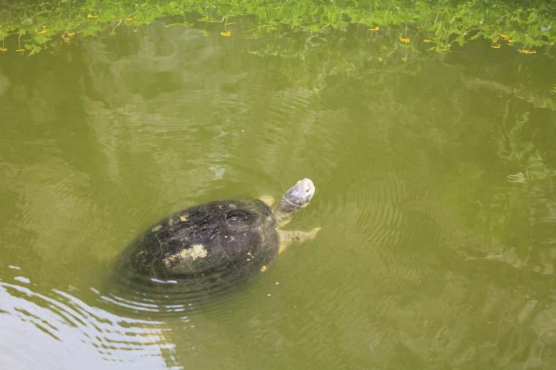 21-черепаха-в-воде