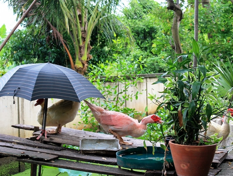 45 утка под зонтом