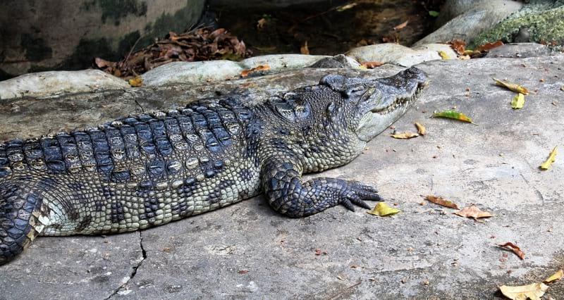 4а крокодилы в Бангкоке