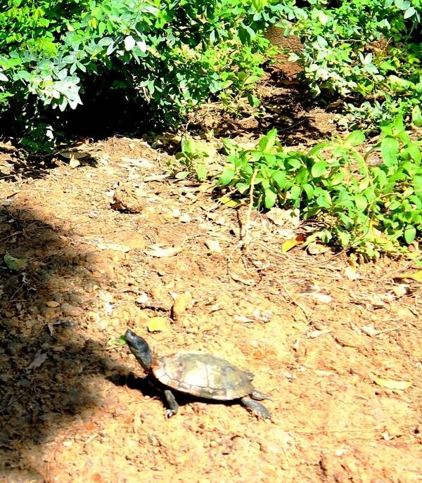 парк Люмпини черепаха