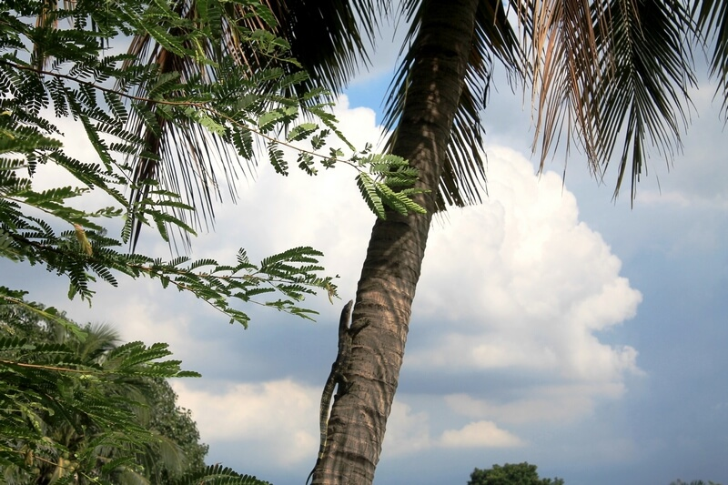 варан на дереве