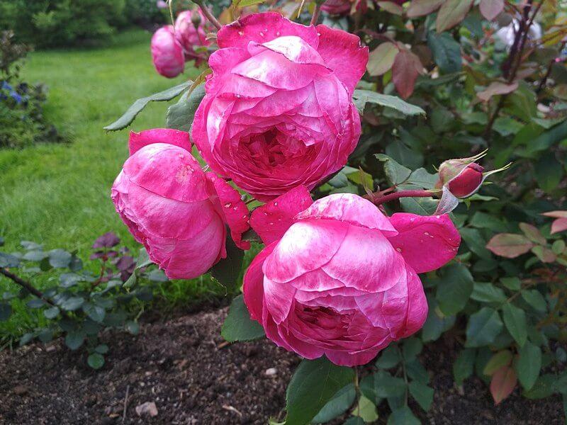 розы Петергофа