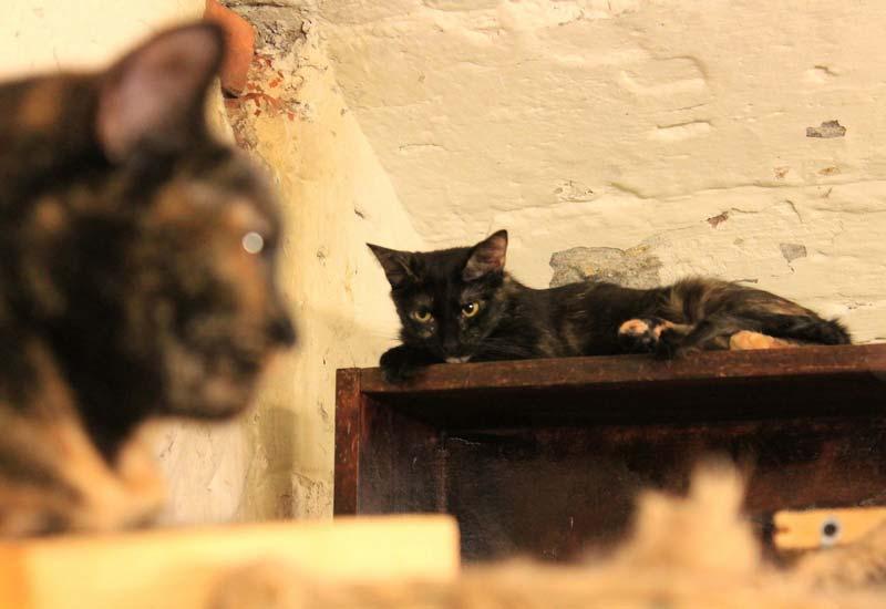 коты-Эрмитажа