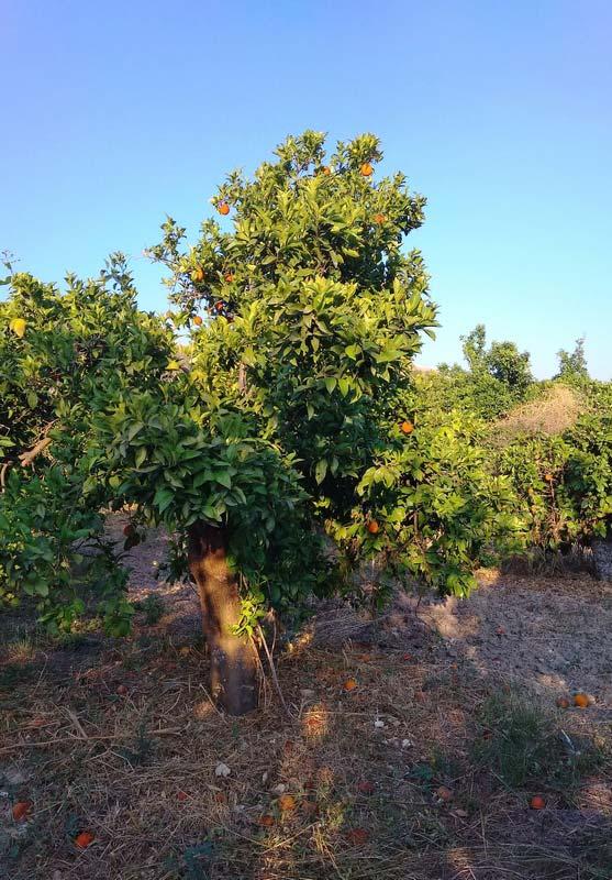 апельсиновое-дерево