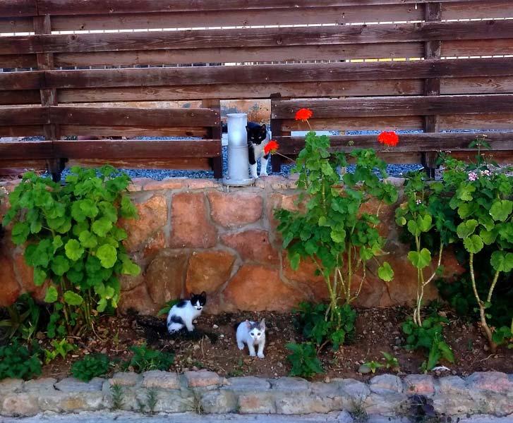 кошки-Кипра