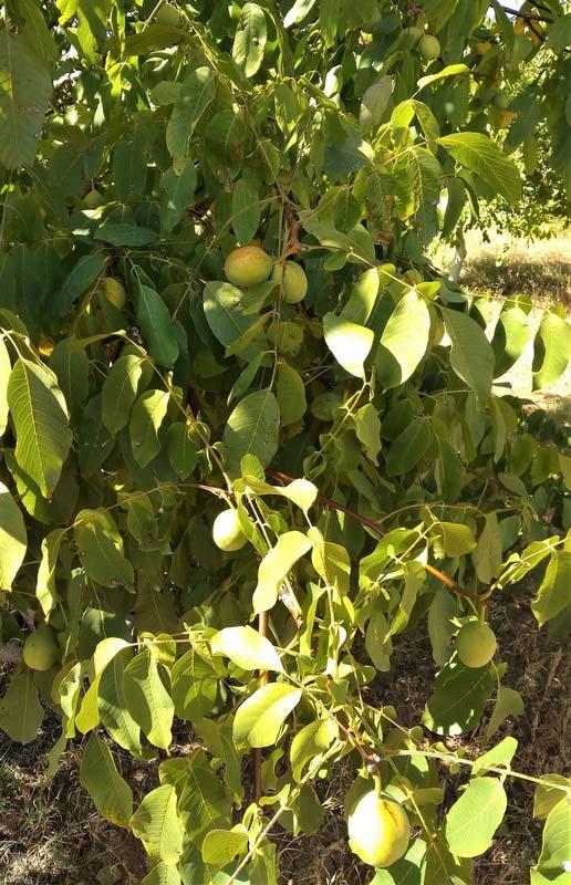 Турция-грецкие-орехи-на-дереве